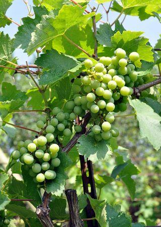 unripe: unripe grapes