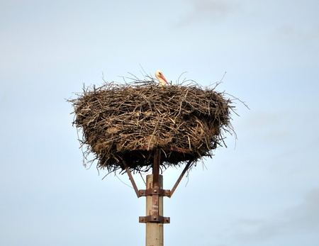 stork in a nest photo