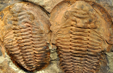 detailed view: Detailed view of fossilized trilobites Stock Photo