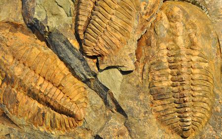 petrified fossil: petrified fossil, trilobite Stock Photo