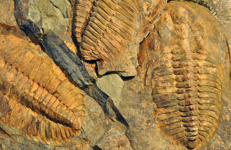 Petrified Fossils - Trilobite Standard-Bild