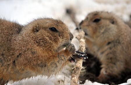 animal - whiz in winter Stock Photo