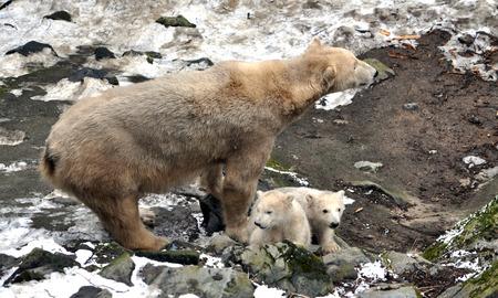 polar bear and cub in winter photo