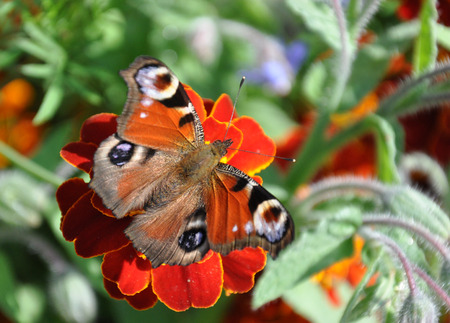 detailed view: Detailed view of colorful butterflies on a blooming plants Stock Photo