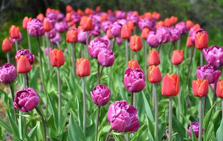 blooming: blooming tulips