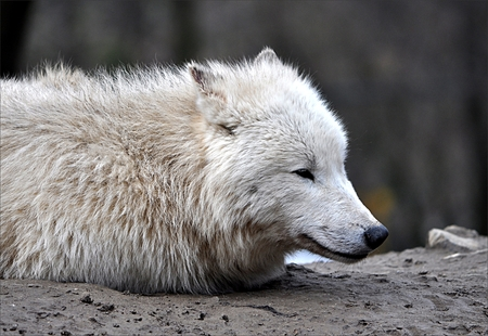 detailed view: Detailed view of the White Wolf
