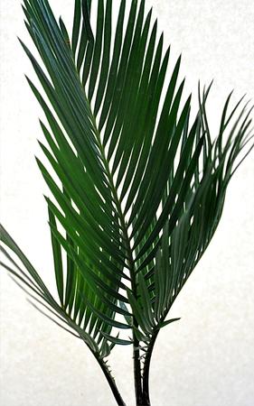 cycas: Palma - Cycas