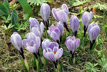 loam: crocus bloomed in the garden Stock Photo