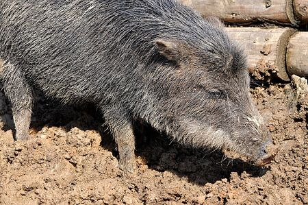 animals in the wild: Animals - Wild boar