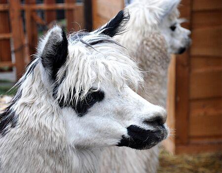 lama: Animal - lama