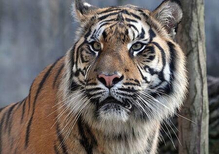 animal - tiger