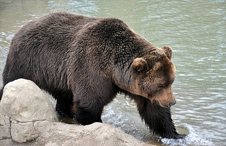 brown bear and lake