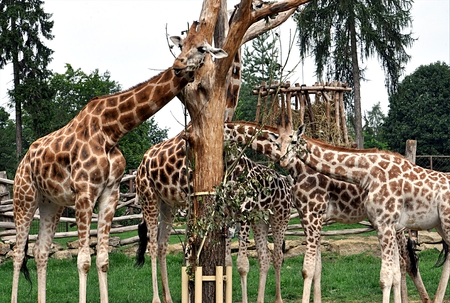 african animal giraffes Stock Photo - 114942473