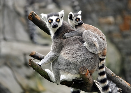 small animal lemur Reklamní fotografie - 114942474
