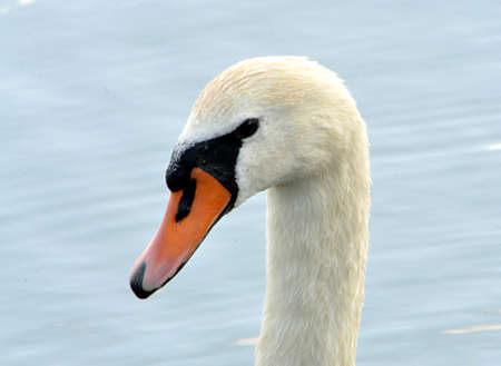 detail view, bird swan