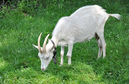 small animal, gost in farm Reklamní fotografie