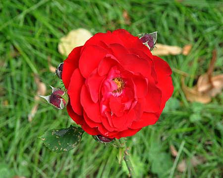 red roses in garden Reklamní fotografie