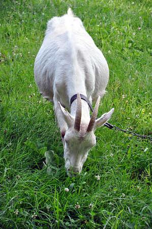 small white goat in farm