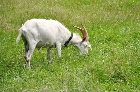 white goat and farm