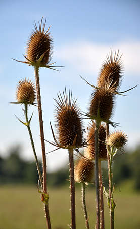 dry thistle in the countryside