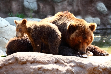whelp: Photography of brown bear with whelp
