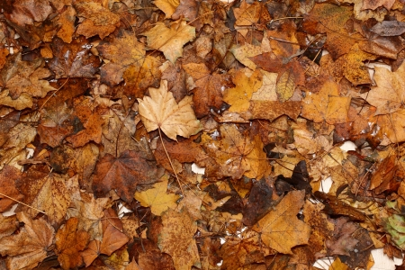 autumn colour: Autumn colour leaves as background for photography