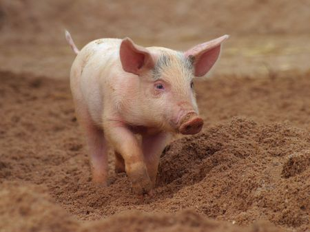 small pink piglet photo