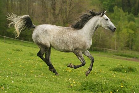 running arabian horse, Shagya arab Stock Photo - 800231
