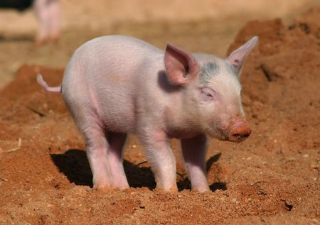 pigling: a small pink pig, piglet