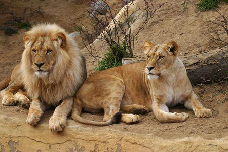 angola: Angola lion, Panthera leo bleyenbergi