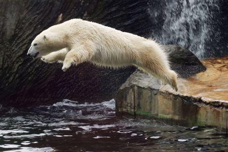 white Polar Bear, Ursus maritimus Stock Photo - 2812763