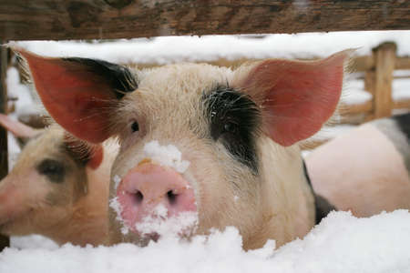 a small pink pig, piglet Stock Photo - 2812755