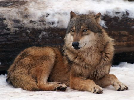 lupus: Gray Wolf in a winter , Canis lupus lupus