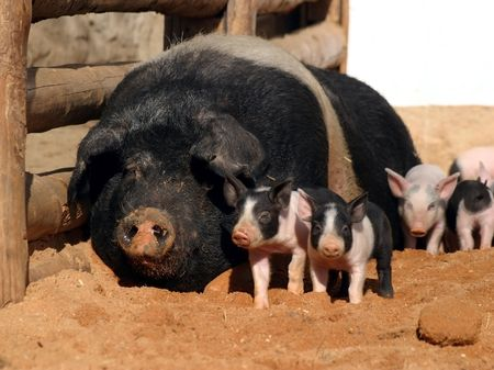 sow and small pink pigs, piglet photo