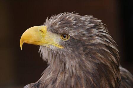 haliaeetus: White-tailed Eagle, Haliaeetus albicilla