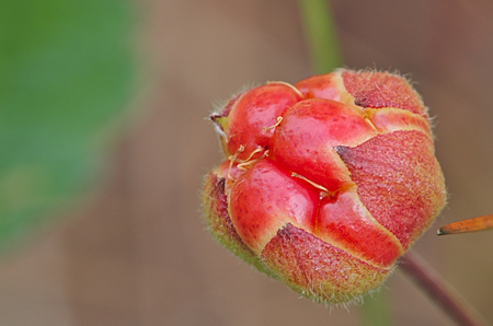 Ripening cloudberry