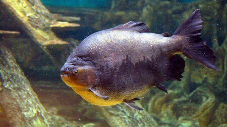 Brown pacu in the Kogalym Oceanarium in Western Siberia