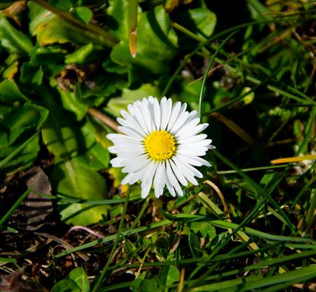 white daisy - spring flower Stock Photo