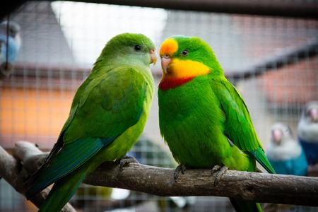 Port Lincoln Parrot - Australian Ringneck Stock Photo