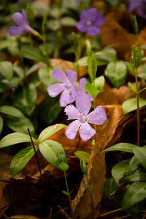 Purple Periwinkle ( Vinca minor )