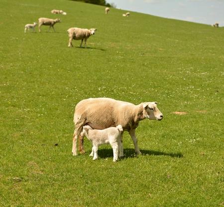 bleating: little lamb feeding Stock Photo