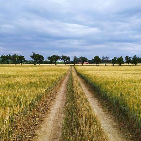 Wheat field road in summer Stockfoto