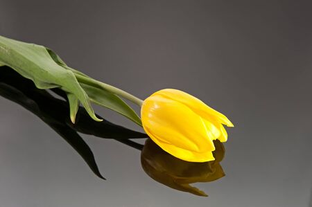 Yellow tulip on a dark glassy background photo