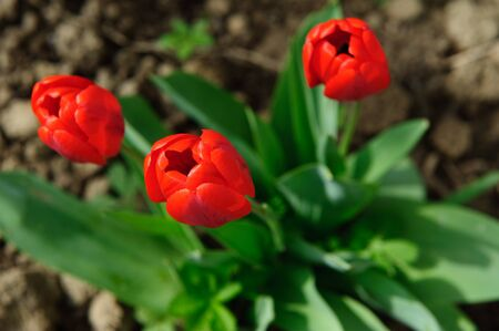 A view on red tulip flowers in soil photo