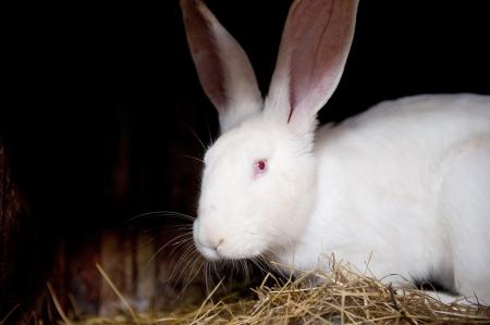 lapin blanc: Mignon lapin blanc sur fond noir profond Banque d'images