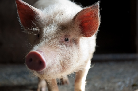big ear: Little young piglet over deep dark background Stock Photo