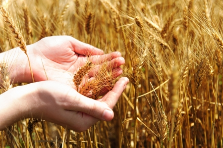 Farmer holding golden wheat in his palms photo