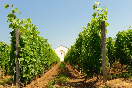 Scenic on fresh vineyards under deep blue sky photo