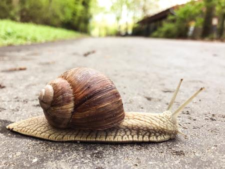 Rain snail closeup on alphalt footpath in spring park
