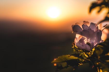 Wild rose bush in the sunset light Stock Photo